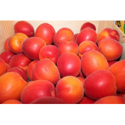 abricot France